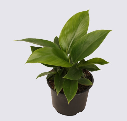 Philodendron Imperial Green - Pre Order