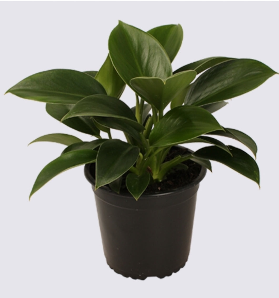 Philodendron Green Princess - Pre Order