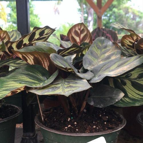 Calathea Peacock (Includes Shipping) Plant Parkesdale