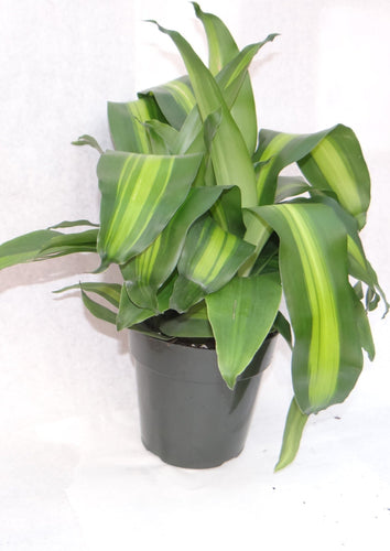 Corn Plant (Includes Shipping) Parkesdale Market
