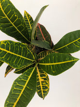 Croton Petra (Includes Shipping) Plant Parkesdale Market