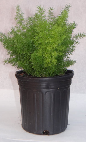 Foxtail Fern (Includes Shipping) Plant Parkesdale Market