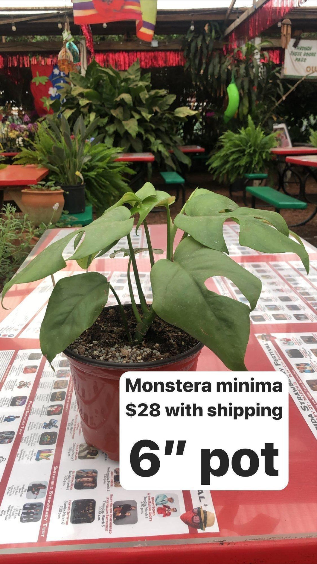 Monstera Minima (Mini Swiss Cheese Plant) Plant Parkesdale