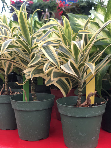 Song of India (Dracaena reflexa) Plant Parkesdale