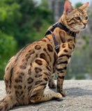 Brown spotted Bengal kitten for Sale 3