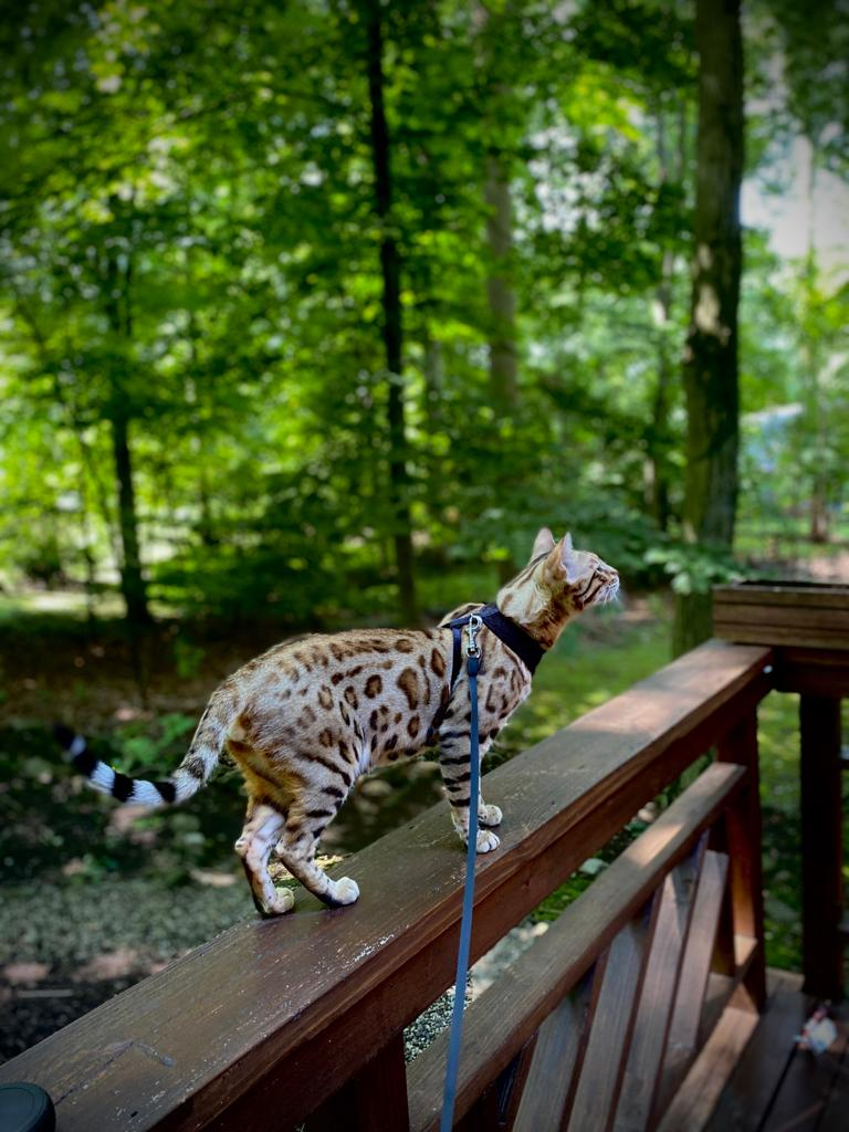Brown spotted Bengal kitten for Sale 6