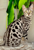 Snow Male Bengal Kitten for Sale 4