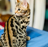 Brown spotted Bengal kitten for Sale 2