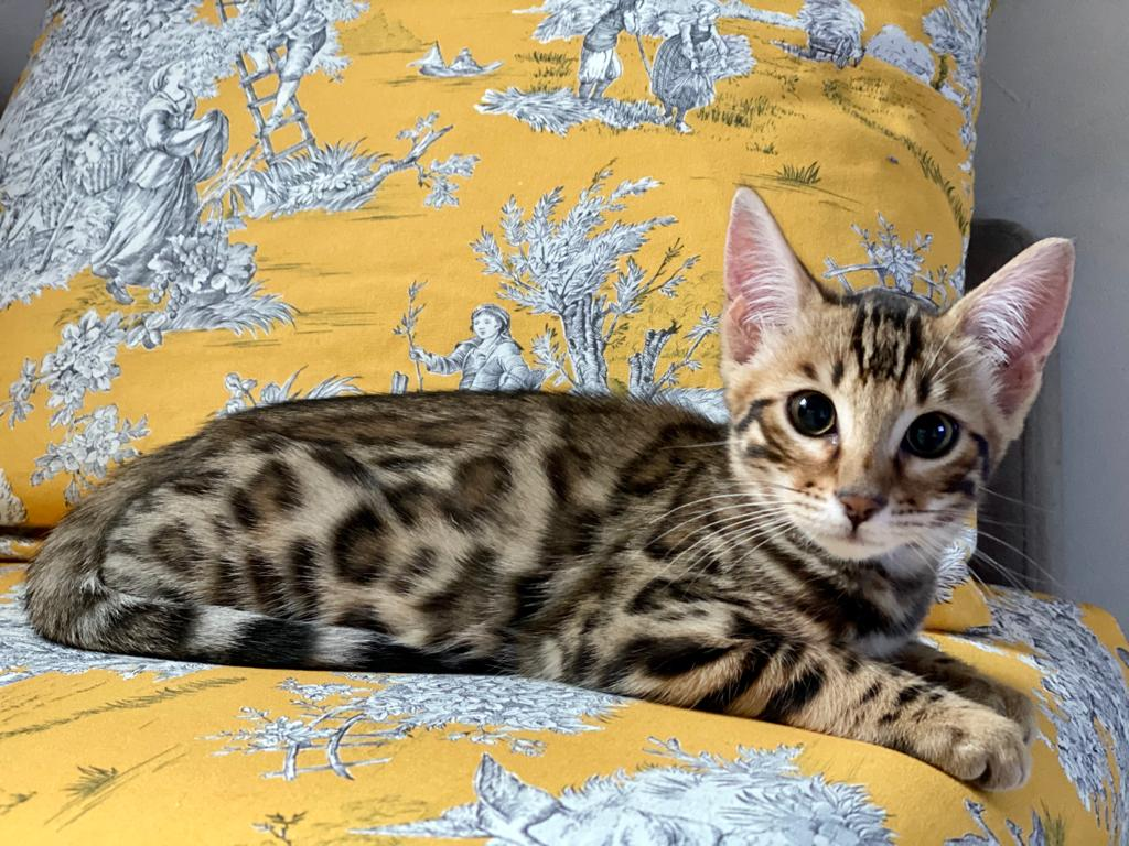 Brown spotted Bengal kitten for Sale 4