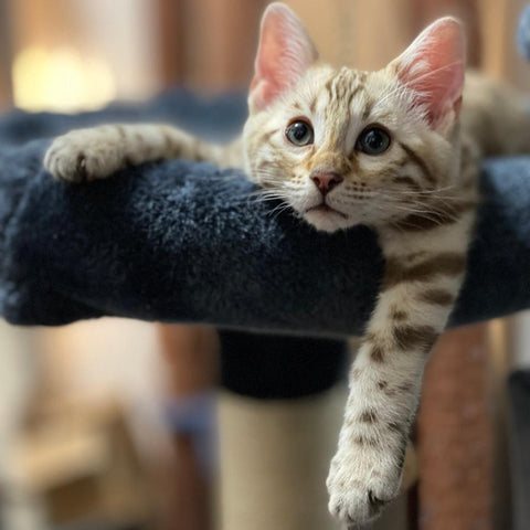 Snow Male Bengal Kitten for Sale