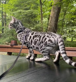 Snow Male Bengal Kitten for Sale 2