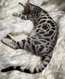 Snow Male Bengal Kitten for Sale 3