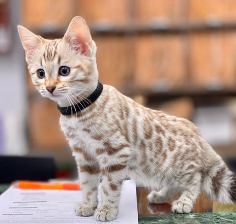 www.TheBengalCats.com Bengal Cat for sale - Hypoallergenic Cats