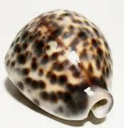 Nightlight SEAJ Tiger Cowry