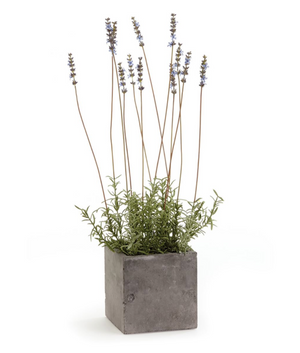 French Lavender in Square Pot - 13 Hub Lane   |