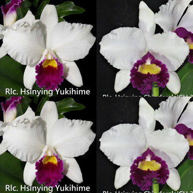 Cattleya orchid seedling (C. Hsinying Yukihime   x Rlc. Hsinying Chinderela '#3')