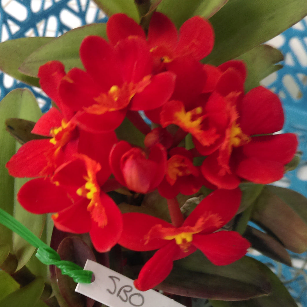 Epidendrum Epi. Crystal Valley 'Flash'
