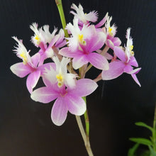 Load image into Gallery viewer, Epidendrum Princess Valley 'Blushing'
