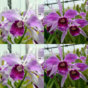 Laelia purpurata 'Harlequin' x  'Johnny V Good' Species