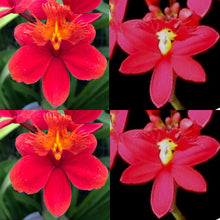 Load image into Gallery viewer, Epidendrum (Pacific Artist x Pacific Sunsplash) x Star Valley