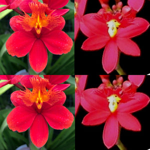 Epidendrum (Pacific Artist x Pacific Sunsplash) x Star Valley