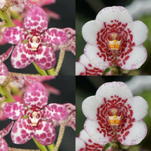 Load image into Gallery viewer, Sarcochilus Orchid Hybrid Flask. H131 Kulnura Press 'Spot Tip' x Kulnura Rusty 'Spec 2'