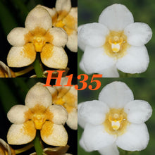 Load image into Gallery viewer, Sarcochilus Orchid Hybrid Flask. H135 Kulnura High 'Melba' x hartmannii '4'