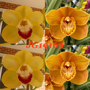 Cymbidium flask JG169 Skye High 'Bella' x (Intense Gold X Foxfire Amber) 'Golden Amber'
