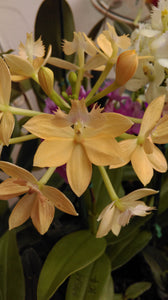 Epidendrum (Pacific Stonefruit x Pacific Jubilee) 'Lemon'