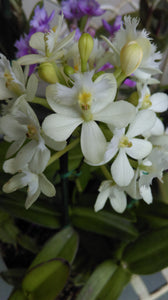 Epidendrum Orchid  (Snow Cocktail x Wedding Valley) 'Snowdrop'