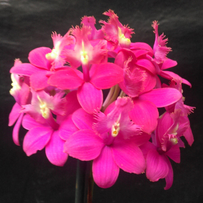 Epidendrum (Pacific Redhots x Pacific Dreamer) 'Hot pink'