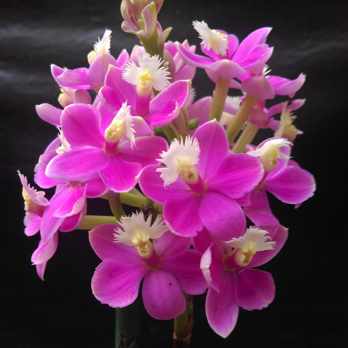 Epidendrum (Special Valley x Sun Valley) 'True pink'