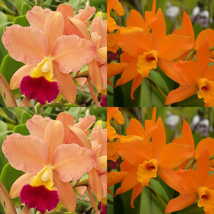 Cattleya Orchid Seedling (Lc. Tropical Sunset 'Oceans Heaven' x Blc. Guess What 'SVO' AM/AOS)