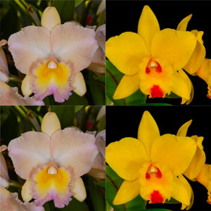 Cattleya Orchid Seedling (Pot. William Farrell 'Native Son' x Pot. Dean's Gold 'Dean's Gold' AM/AOS)