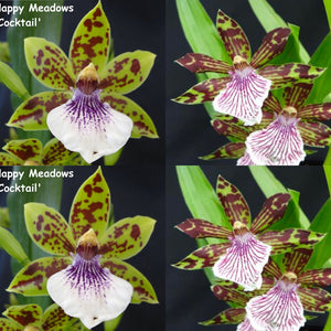 Zygopetalum Orchid Zga. Happy Meadows 'Lime Cocktail' x Z. crinitum 'Loddiges'