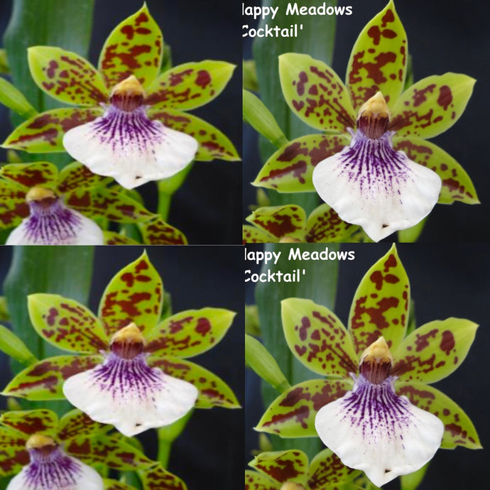 Zygopetalum Orchid Zga. Happy Bay 'Lime Ripple' x Zga. Happy Meadows 'Lime Cocktail'