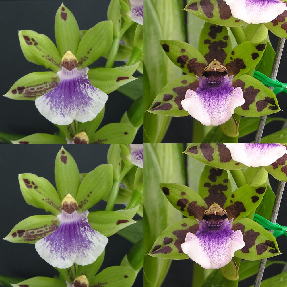 Zygopetalum Orchid Zga. Happy Bay 'Lime Cocktail' x Npp. Steven's Choice 'Lemon Grass'