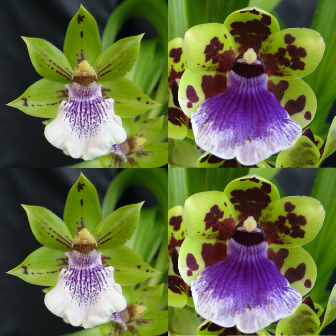Zygopetalum Orchid Zga. Happy Bay 'Green Hills' x Zga. Freestyle Meadows 'Superman'
