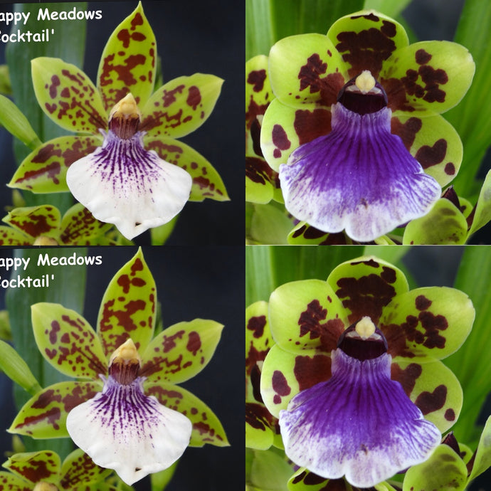 Zygopetalum Orchid Zga. Happy Meadows 'Lime Cocktail' x Zga. Freestyle Meadows 'Superman'
