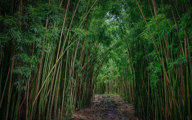 Canvas or Paper Print of Bamboo Forest