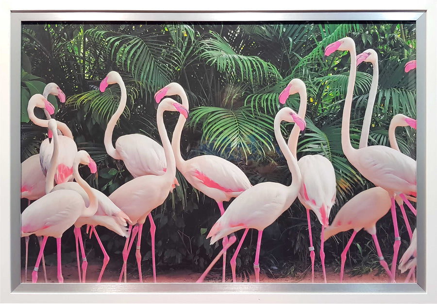 Framed Print of Flamingo's