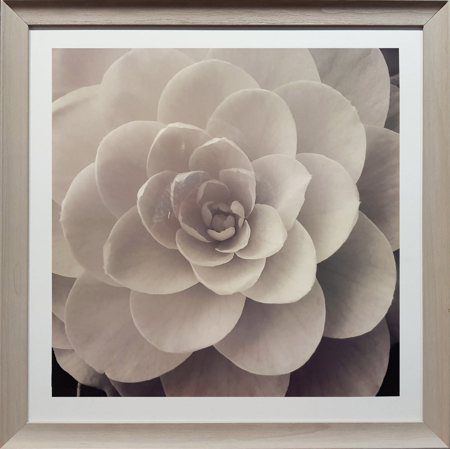 Framed Print of Black and White Rose No.2