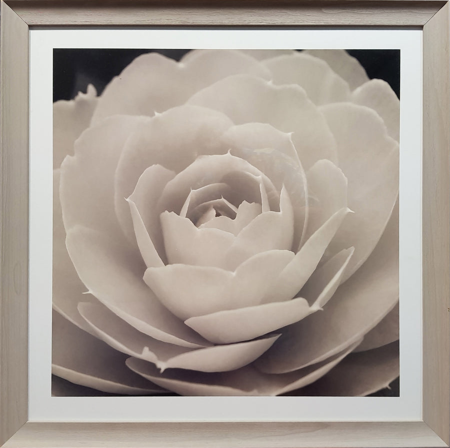 Framed Print of Black and White Rose No.1