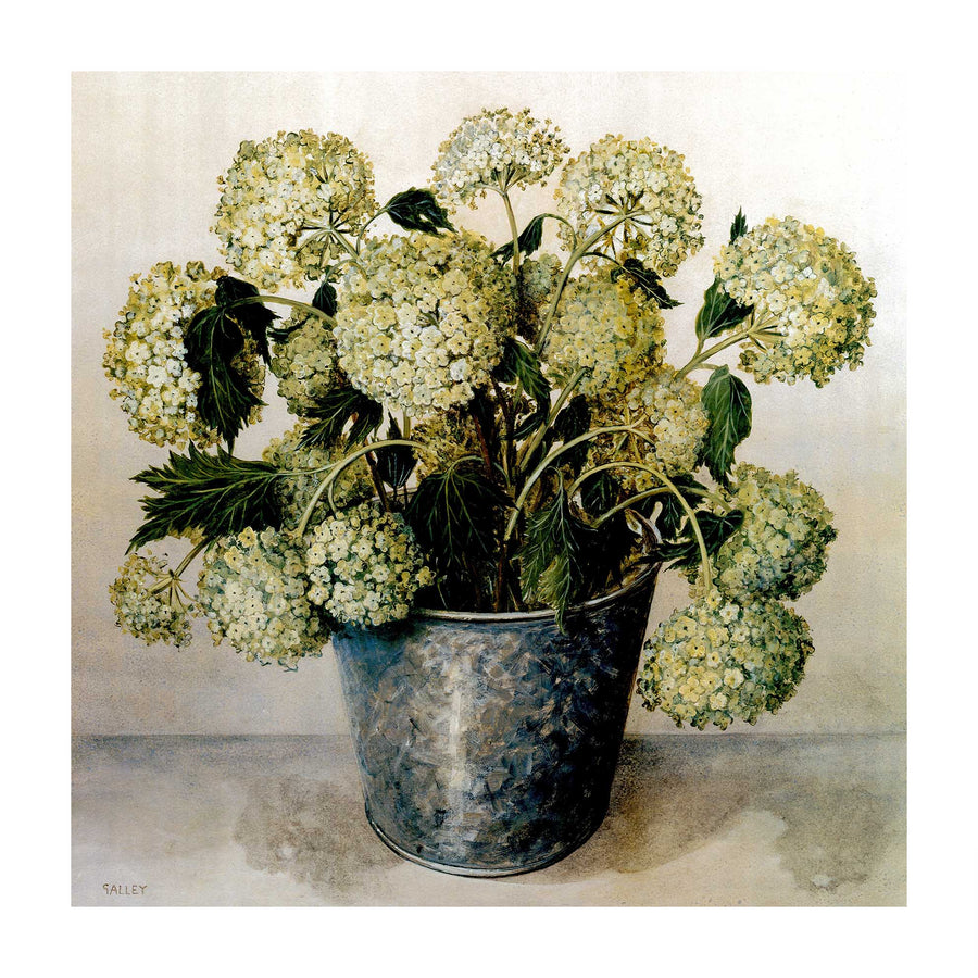 Canvas or Paper Print of White Hydrangeas