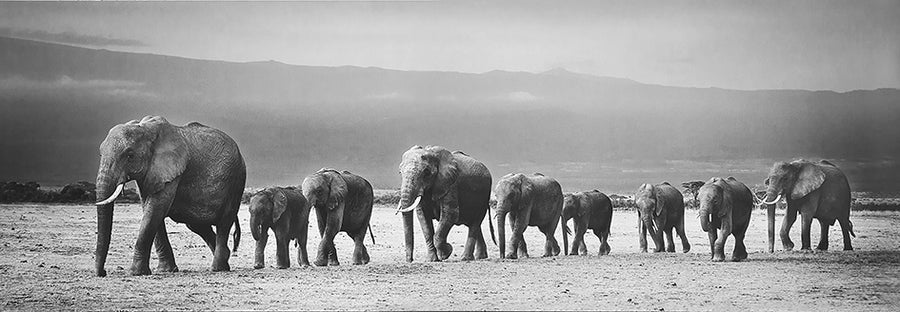 Canvas or Paper Print of Elephants Walking