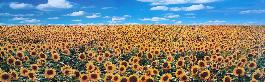 Canvas or Paper Print of Sunflowers