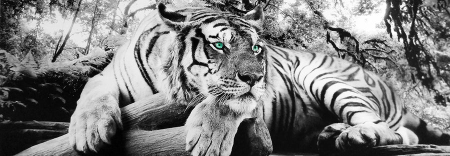 Canvas or Paper Print of Tiger