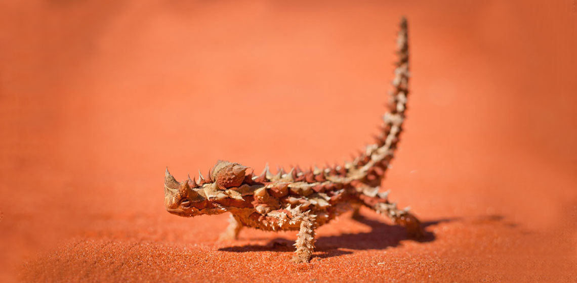 Survive In Hostile Environments Lessons With The Thorny Devil