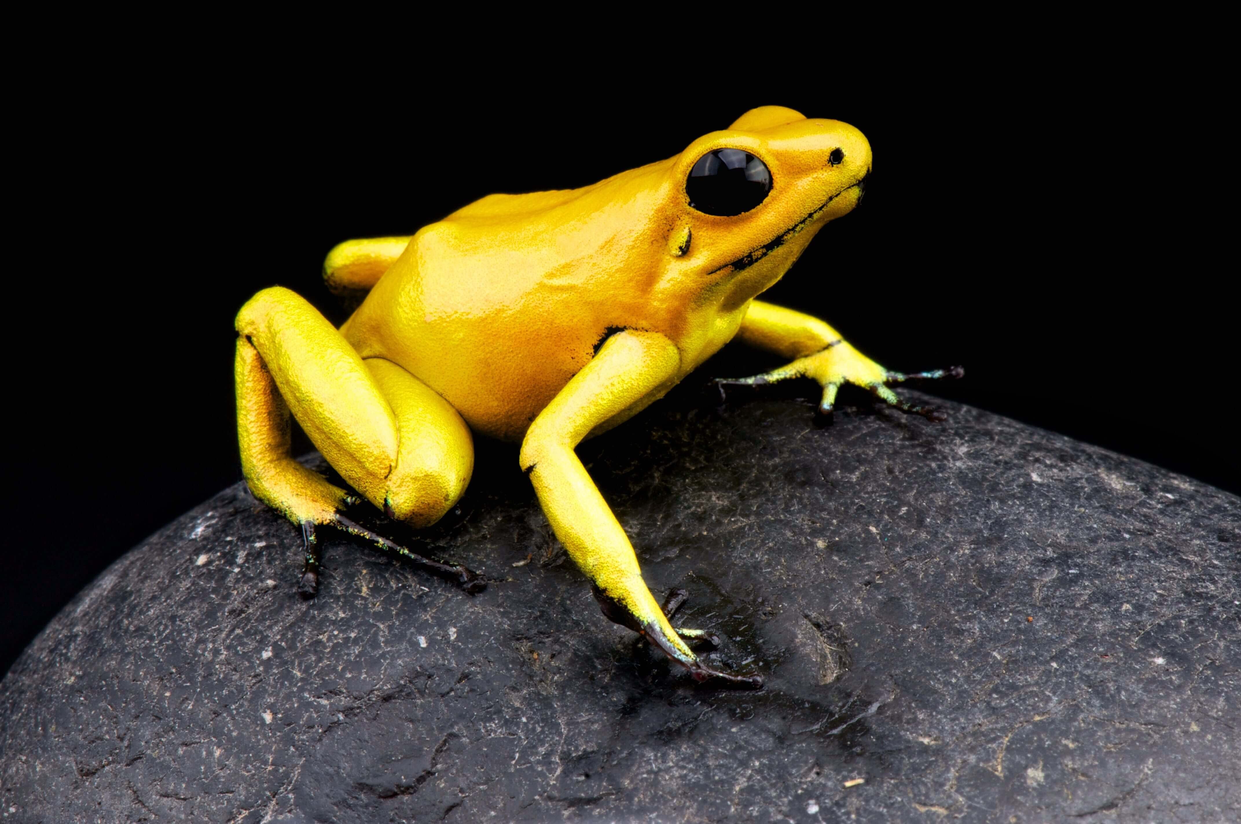 Golden Poison Frog, Phyllobates terribilis, Matthijs Kuijpers, cold instinct, poisonous frog, most poisonous animal, dangerous animals
