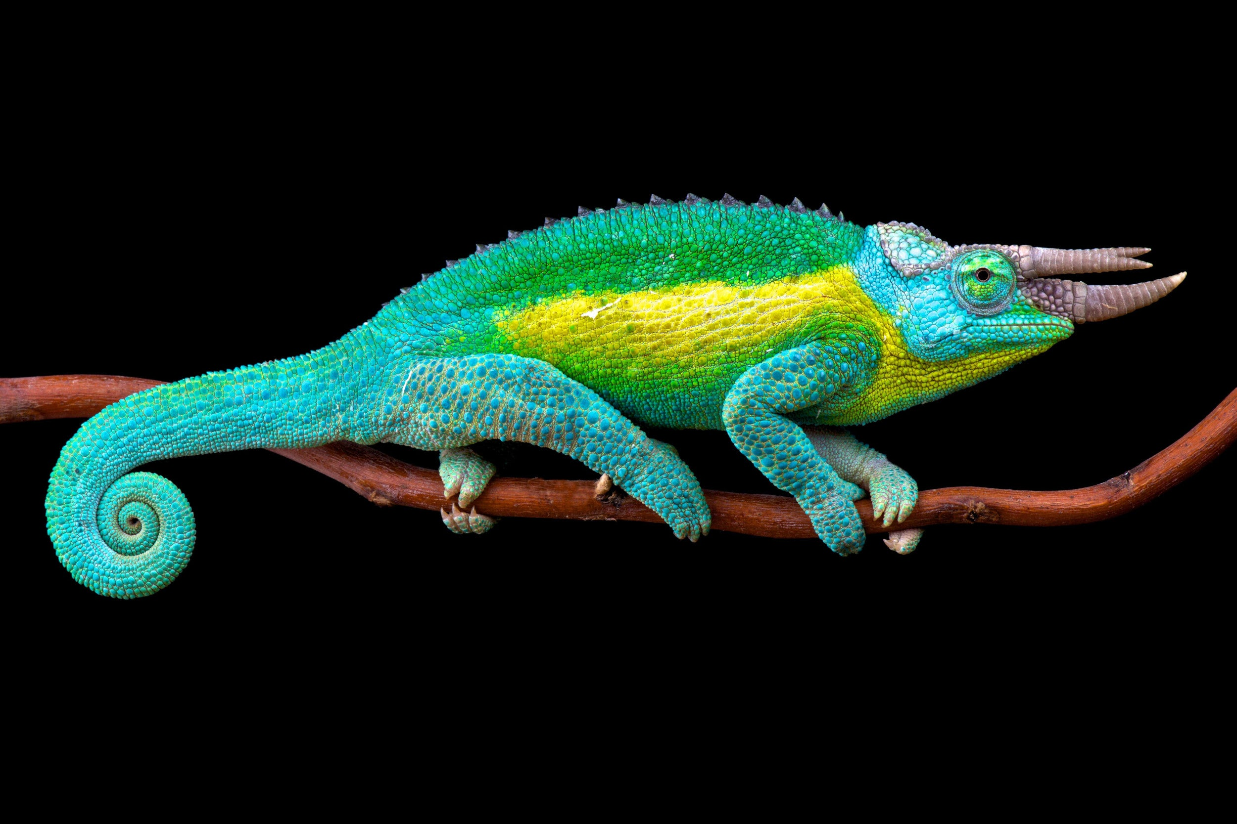 A Jackson's Chameleon: the horns are used to duell against rival chameleons.